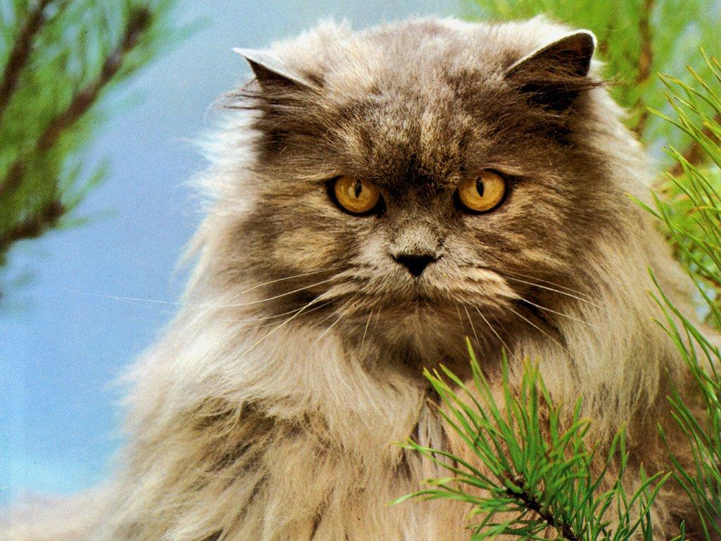 Imagen de un gato persa