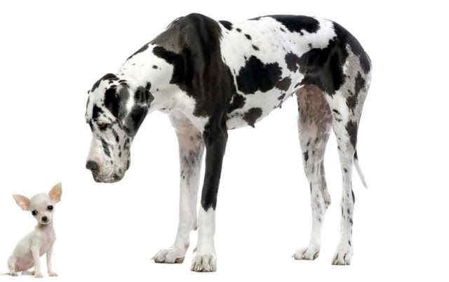 gran danés, perro, corrector de estilo, sujeto largo