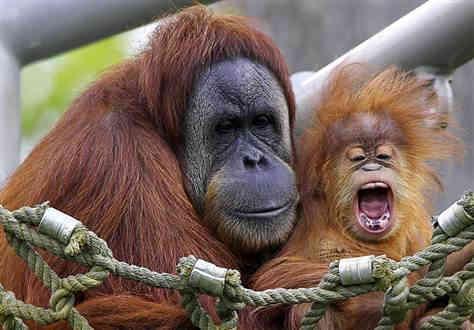 charlie, primate