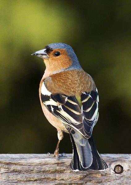 Fringilla_coelebs_(chaffinch),_male