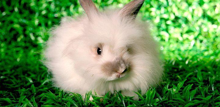 conejos-angora