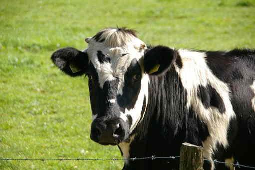 Rubem Fonseca, vaca, relato