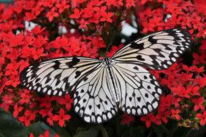 mariposas, poema, schultz