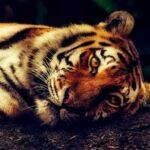 El tigre que perdió sus rayas, microrrelato
